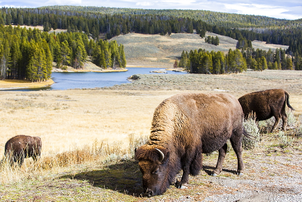 Bison grazing in meadow in Yellowstone National Park, Wyoming, USA