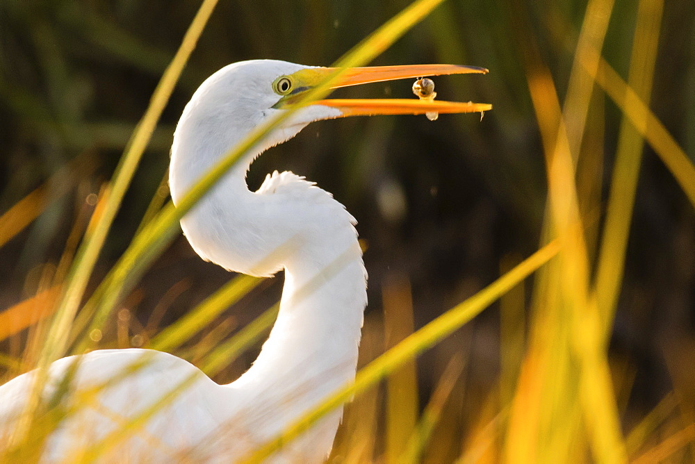 Great egret (Ardea alba) feeding on fish, Kennebunk, Maine, USA