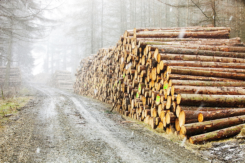 Log pile of freshly cut timber in Grizedale forest on side of dirt road, Lake District, UK