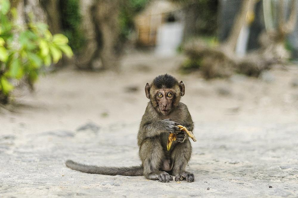 Beautiful photograph of single monkey eating a banana on Monkey Island in Ha Long Bay, Vietnam