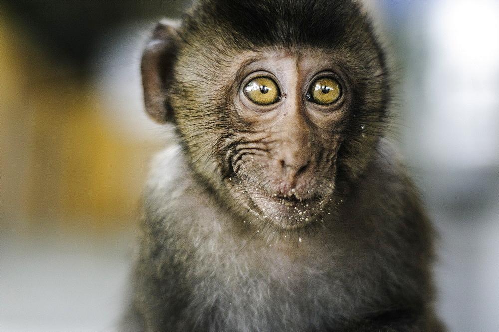 Beautiful nature photograph with headshot of monkey, Monkey Island, Ha Long Bay, Vietnam