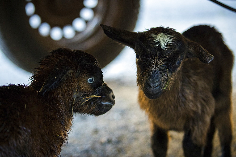 Two baby goats standing together