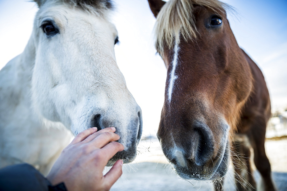 Headshots of two horses with woman touching nose of one of them