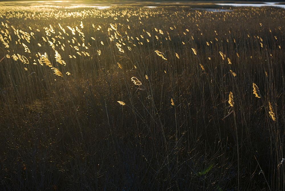 Scenic view of grass at sunset, Plum Island, Parker River Wildlife Refuge, Newburyport, Massachusetts, USA