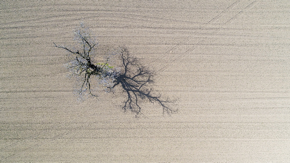 Aerial view of single tree in field, Genolier, Vaud Canton, Switzerland