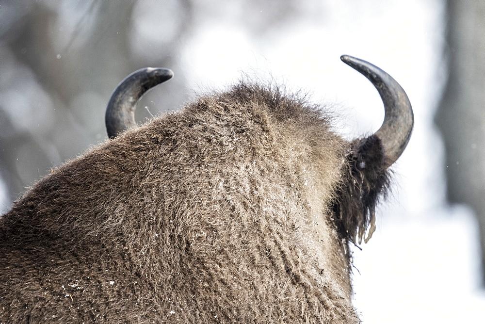 Beautiful nature photograph of back of head of European bison (Bison bonasus), Armenis, Caras-Severin, Romania