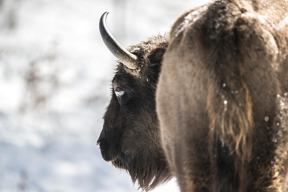 Beautiful nature photograph with close up of European bison (Bison bonasus), Armenis, Caras-Severin, Romania
