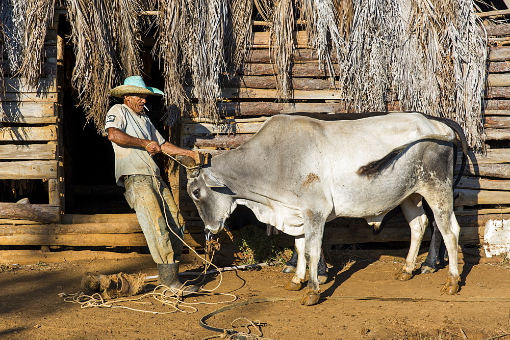 Side view of farmer preparing oxen for fieldwork, Vinales, Pinar del Rio Province, Cuba