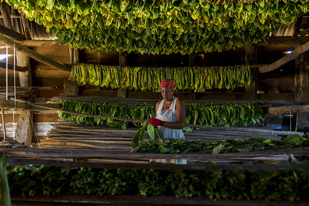 Mature woman wearing headscarf threading and drying tobacco leaves, Vinales, Pinar del Rio Province, Cuba - 857-95614