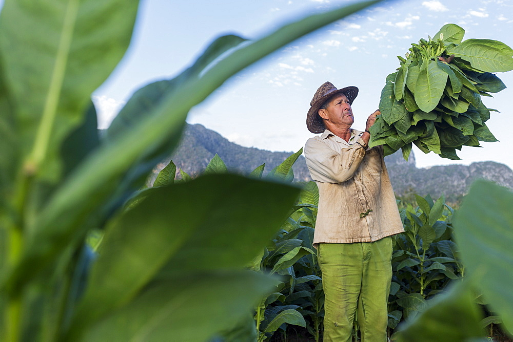 Male worker harvesting tobacco leaves in plantation, La Palma, Pinar del Rio Province, Cuba - 857-95616