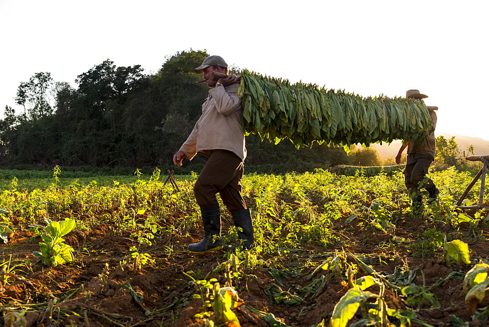 Two men carrying tobacco leaves in plantation, Vinales, Pinar del Rio Province, Cuba - 857-95620