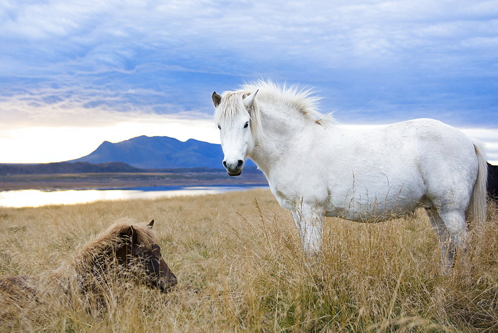 White Icelandic horse and black foal resting in foxtail field with lake and mountain in background, Hvitserkur, Iceland