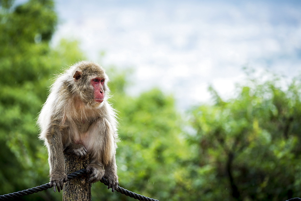 Portrait of monkey sitting on wooden pole and looking away, Arashiyama, Kyoto, Japan