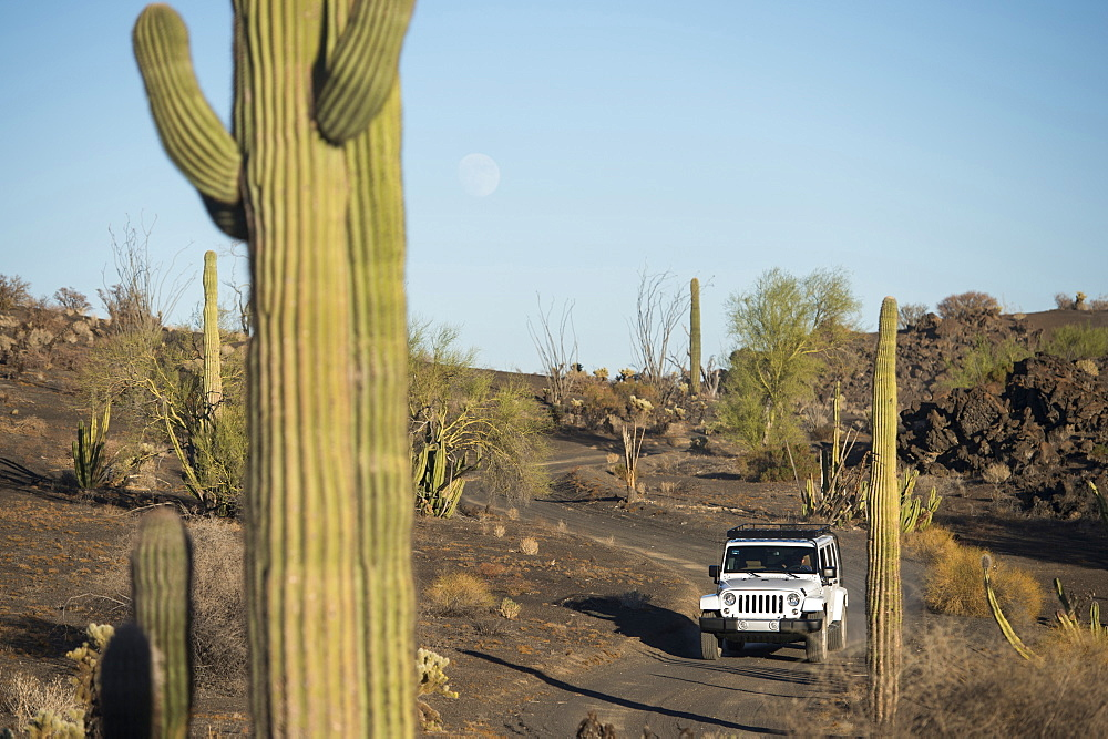 Jeep driving on dusty path amidst cacti in desert,  Pinacate Reserve, Sonora, Mexico