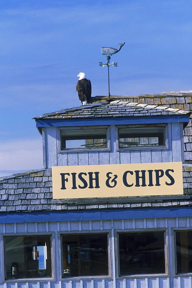 A bald eagle (Haliaeetus leucocephalus) sits atop the Boardwalk Fish and Chips restaurant on Alaska's Homer Spit.