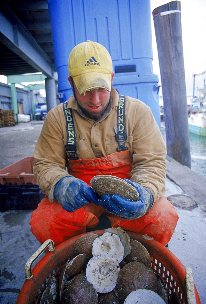 man shucking scallops from recent trip to sea on portland waterfront