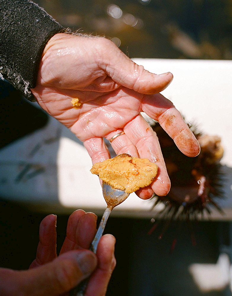 Peter Halmay (71) a former engineer turned sea urchin diver in San Diego,  Ca.,  displays a portion of his catch onboard his boat after his second dive of the day. According to many,  the best urchins - the big Pacific Reds - come from the kelp forests of