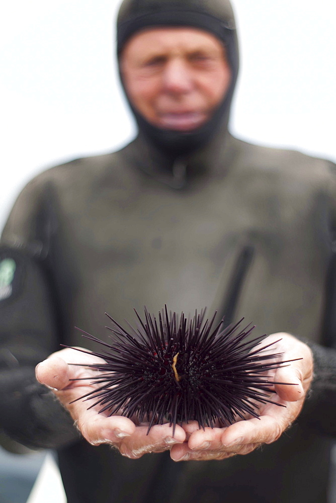 Peter Halmay (71) a former engineer turned sea urchin diver in San Diego,  Ca.,  displays an urchin on his boat after his second dive of the day. According to many,  the best urchins - the big Pacific Reds - come from the kelp forests off Point Loma,  Ca.