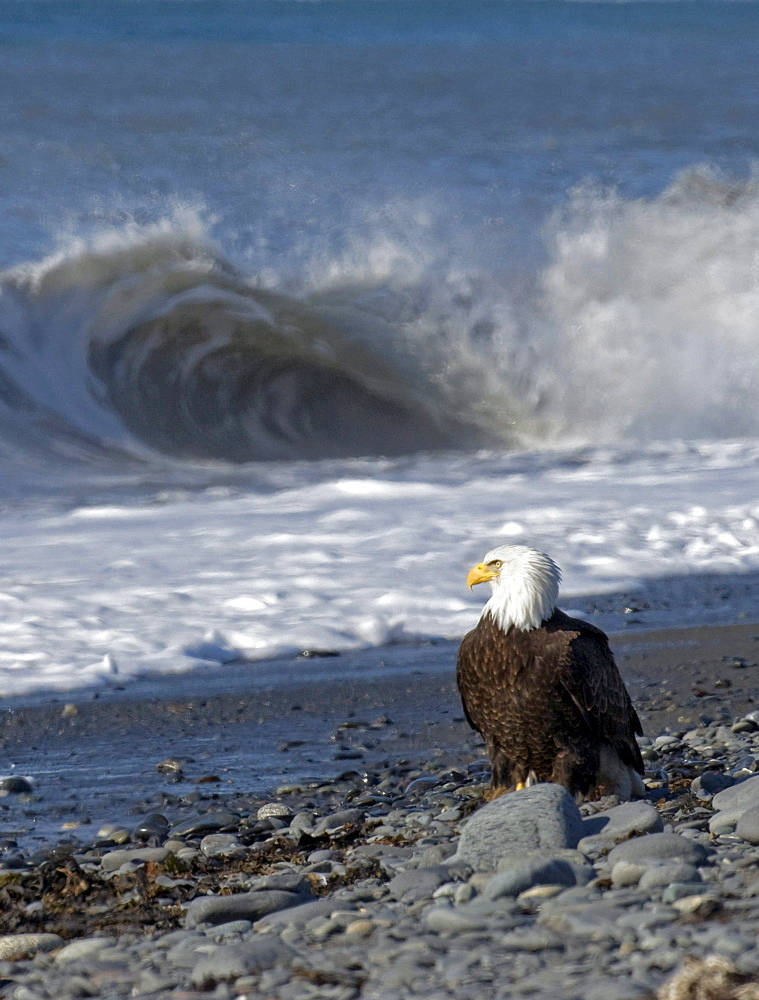American Bald Eagle stands on the rocky beach watching waves roll in at Kachemak Bay near Homer, Alaska.