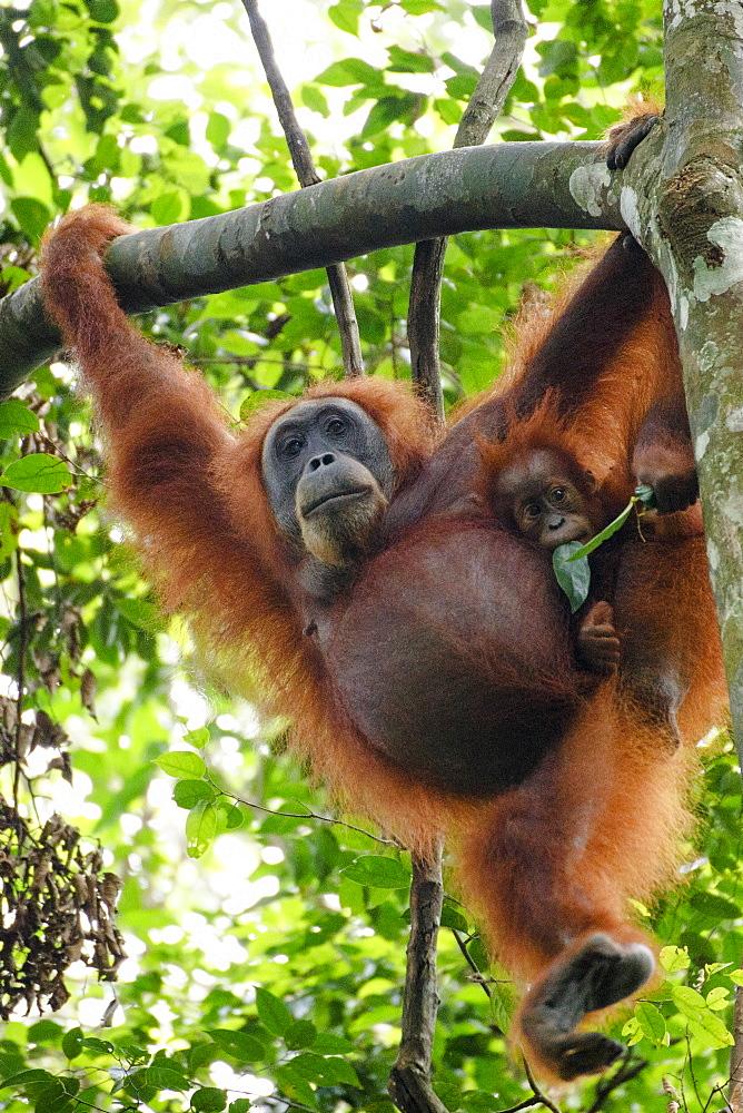 A Sumatran orangutan (Pongo abelii) mother and child in Gunung Leuser National Park in Northern Sumatra.