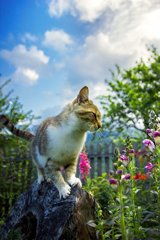 Cat standing on a tree stump in the backyard with garden flowers around it. Ðakovo village, southwest Serbia.