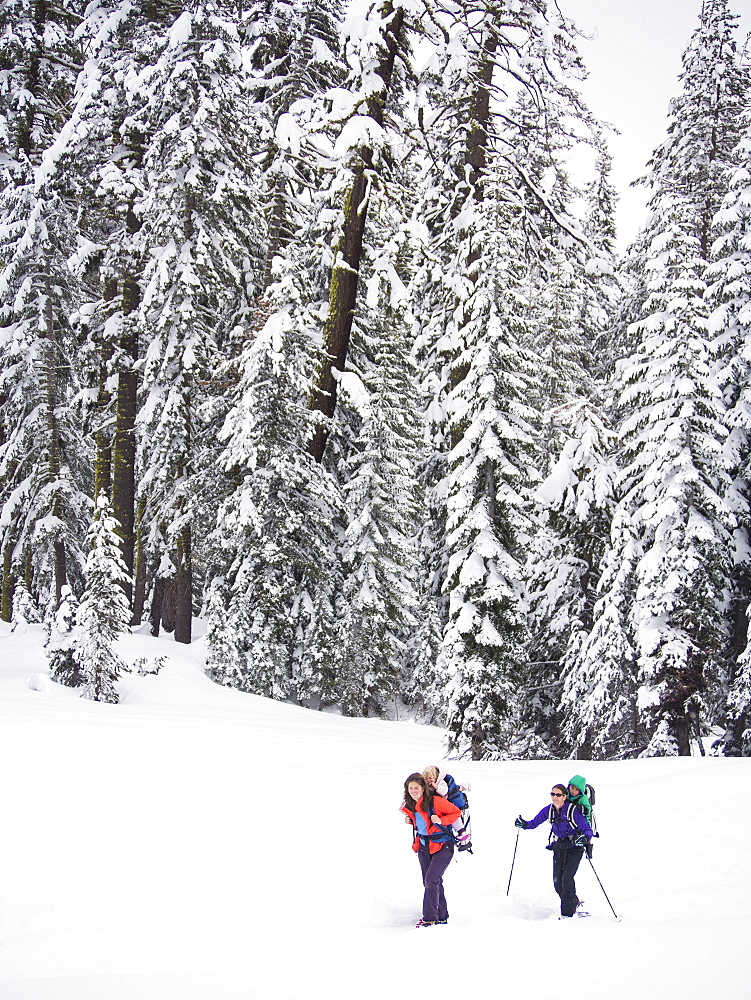 Skiers traveling through a pine forest with kids on their backs on their way to the Peter Grubb Hut, Sierra Nevada