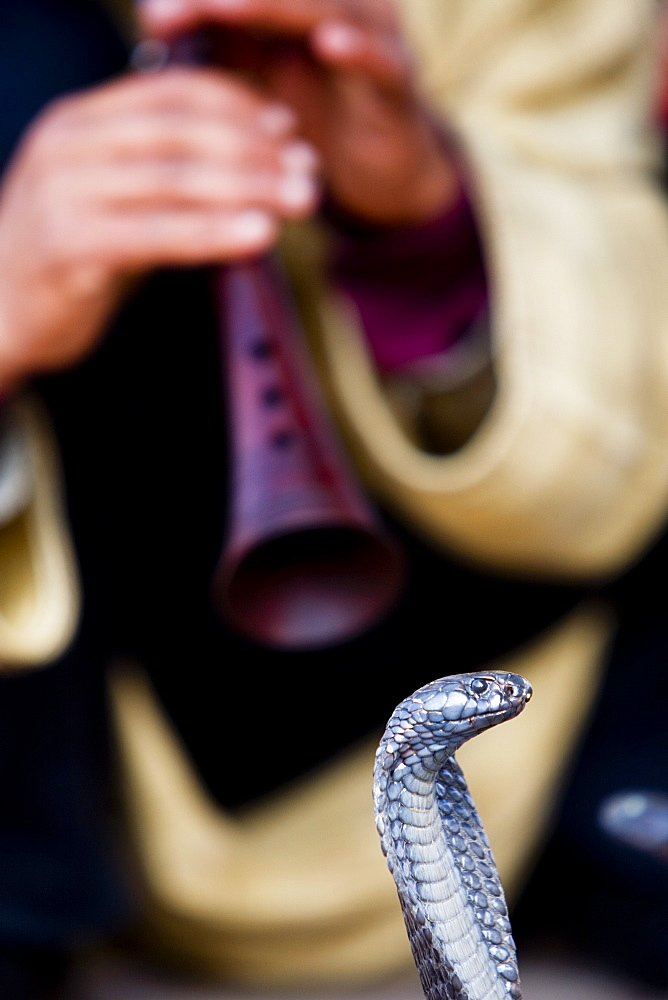 The old tradition of charming a cobra is a favorite pasttime of Marrekesh locals in the heart of the Medina, Morocco