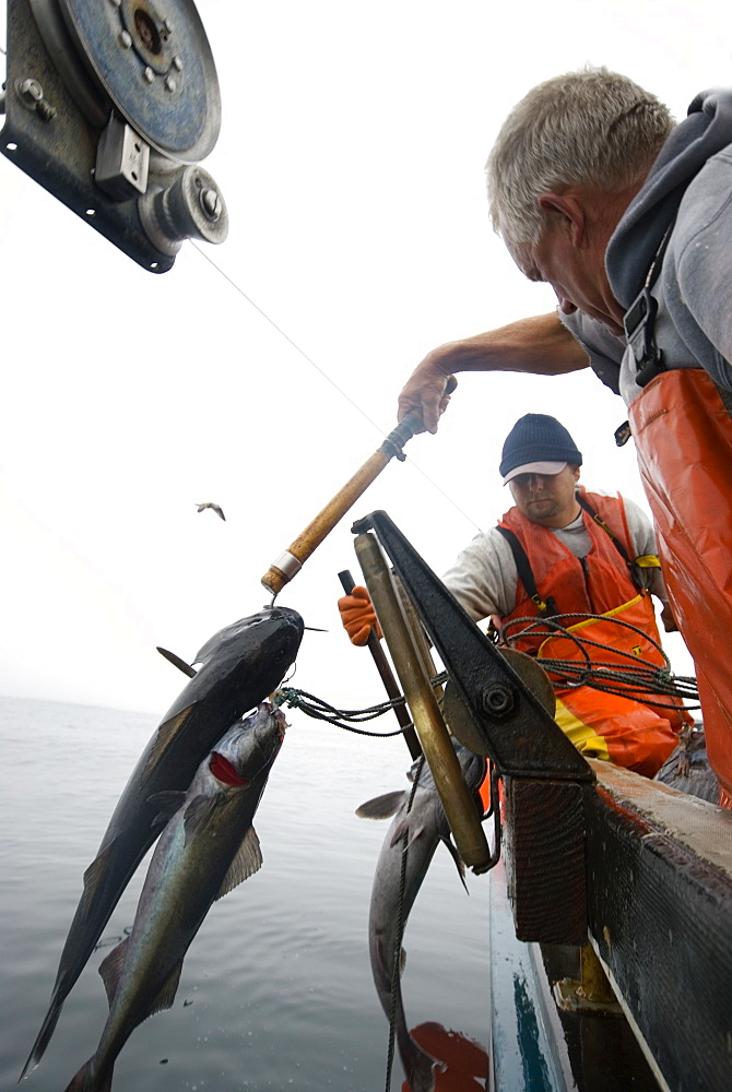 """Sept 24, 2008 20 miles offshore of Morro Bay California. Captain Bill Blue fishing for Sable Fish or """"Black Cod"""" off the coast of Big Sur California using the """"hook and line"""", or """"long-line"""" method. A new wave in sustainable commercial fishing is pushing fisherman to switch from higher impact methods of harvesting fish like trawling- to hook and line or long line harvest, United States of America"""