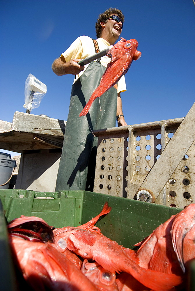 Sept 25, 2008 On docks of Morro Bay California fisherman Dave Rose at his processing wharf unloading his catch of Black Gill Rock Fish, caught on sustainable long-lines. A new wave in sustainable commercial fishing is pushing fisherman to switch from higher impact methods of harvesting fish like trawling- to hook and line or long line harvest, United States of America
