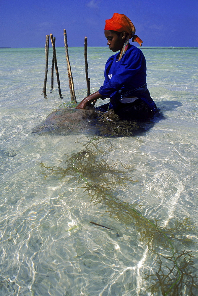 Swahili woman in the beds of seaweed grown in the Indian Ocean at Paje, Zanzibar.