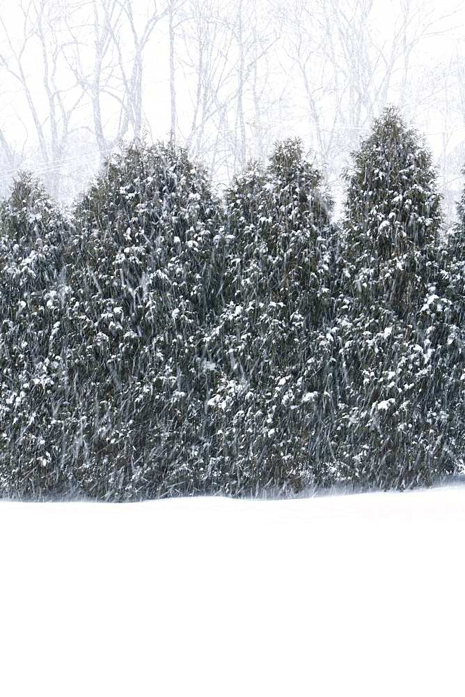 Falling snow against row of trees in Fayetteville, WV
