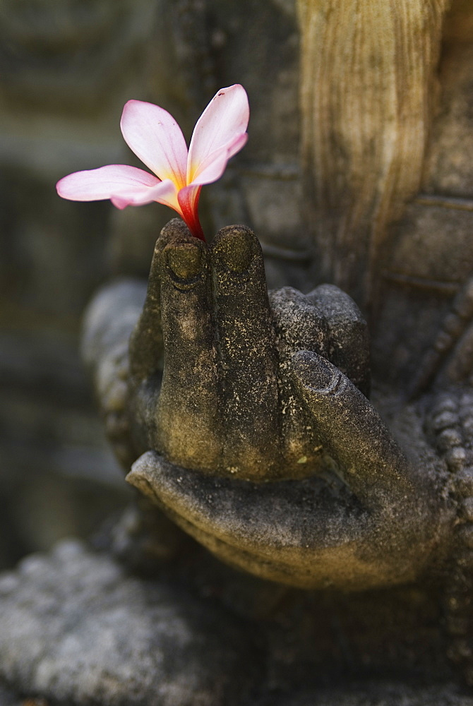 An Indonesian stone carving holds a pale pink Frangipani flower (Plumeria alba) in the town of Ubud on Bali, Indonesia.