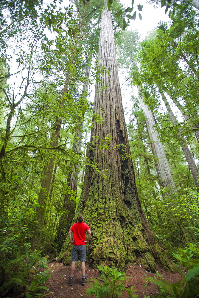 A hiker looks up at a giant Redwood Tree while visiting Stout Grove, Jedediah Smith Redwoods State Park.