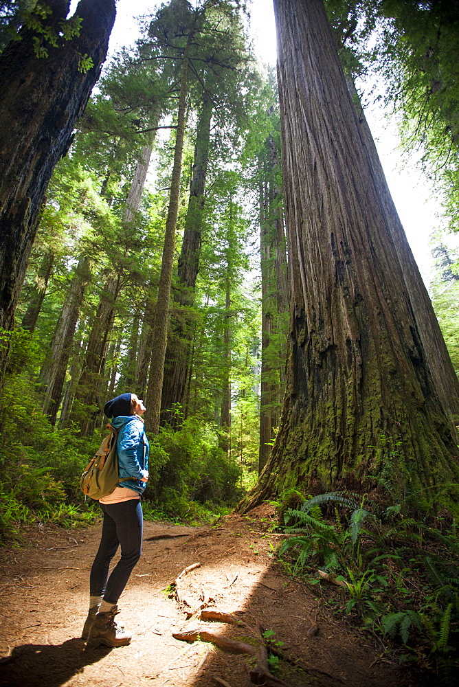 A hiker looks up through the sunlight at a giant Redwood Tree in Stout Grove, Jedediah Smith Redwoods State Park.