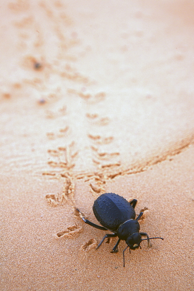 beetle walking in desert sand, Tunisia, Sahara desert
