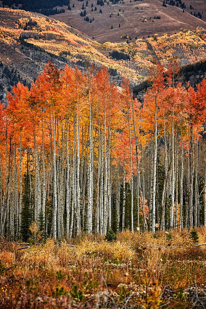 Fall colors in the White River National Forest in Colorado.