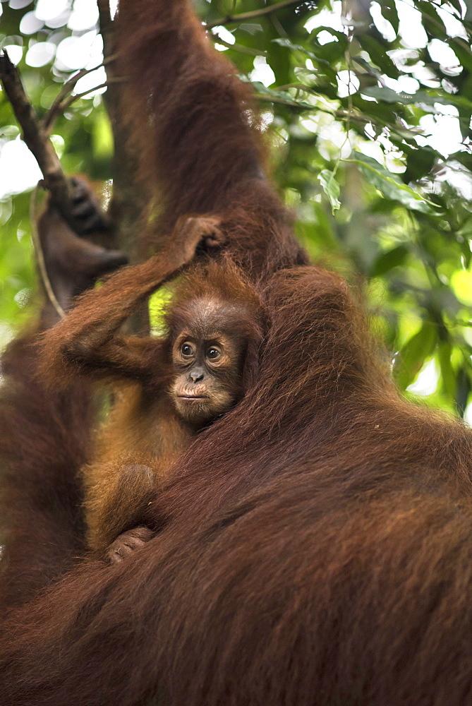 Sumatran Orangutan With Its Young One In The Forest Of Bukit Lawang, Sumatra, Indonesia