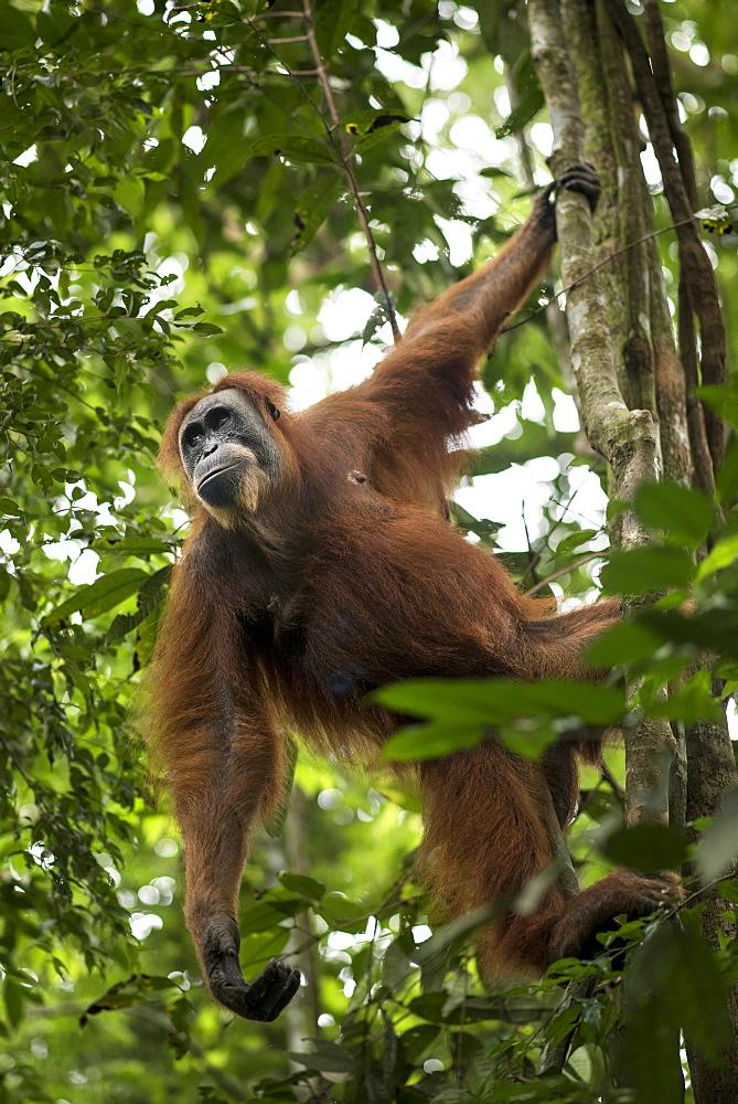 Sumatran Orangutan On The Tree In The Forest Of Bukit Lawang, Sumatra, Indonesia