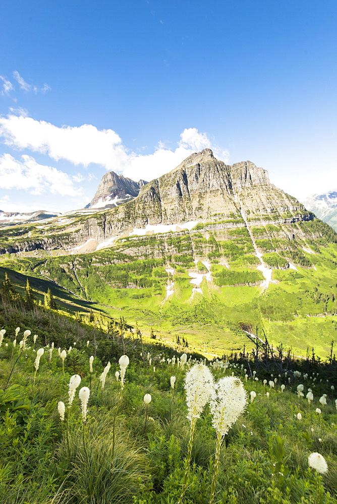 Bear Grass On The Highline Trail In Glacier National Park, Montana, Usa