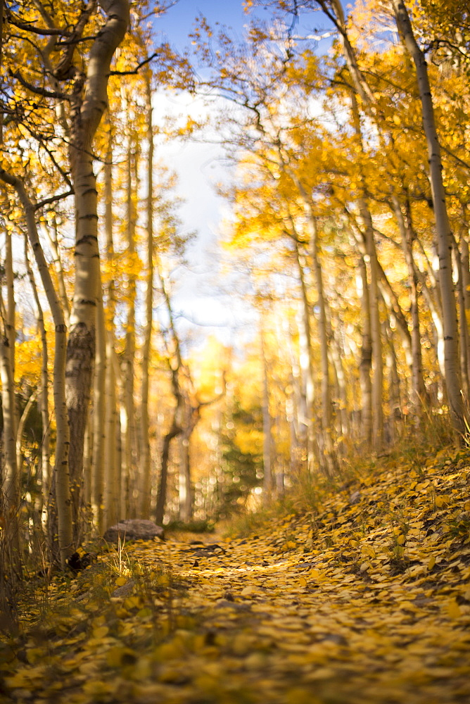 Fallen aspen leaves cover the trail to Wheeler Peak in Great Basin National Park.