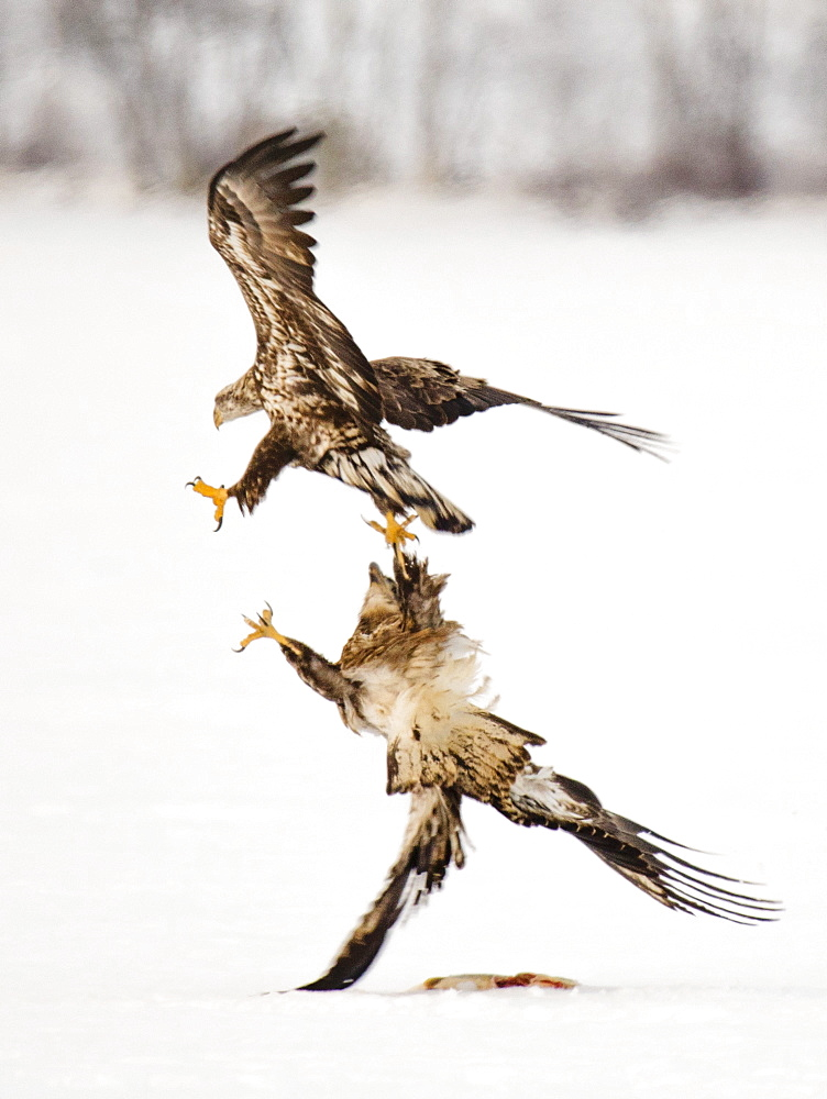 SABATTUS, ME - FEBRUARY 19, 2017: An immature bald eagleHaliaeetus leucocephalus fends off a rival while protecting a pike on frozen Sabattus Pond, in Sabattus, Maine. Ice fishermen on the popular winter fishing spot often leave fish they don't want to keep, for the eagles to feed on. Occasionally eagles will steal a fish, left unguarded on the ice, that was meant for the fisherman's dinner.