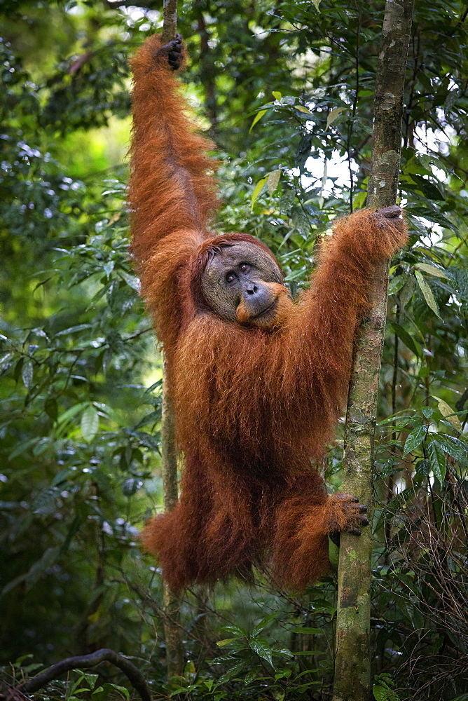 A critically endangered wild male Sumatran Orangutan in Gunung Leuser National Park near the tourist town of Bukit Lawang