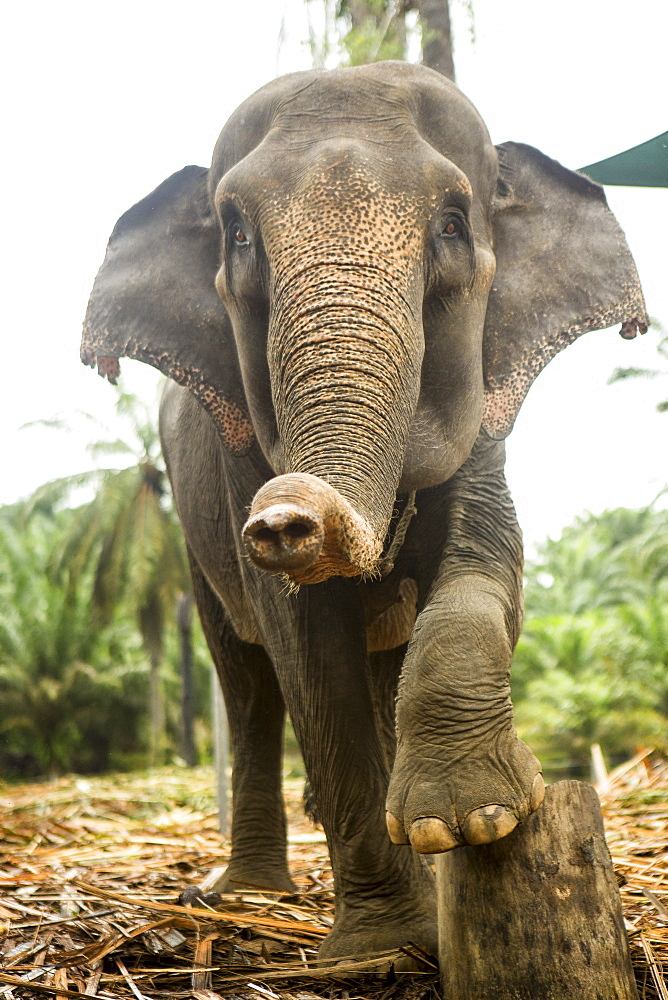 A female sumatran elephant poses on a stump in an enclosure at an elephant rescue center in north Sumatra. While many of the elephants were rescued from being labor animals, they are still kept in less than ideal conditions.