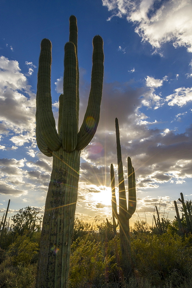 Beautiful nature photograph of Saguaro (Carnegiea gigantea) cacti at sunset, Tucson Mountain County Park, Tucson, Arizona, USA