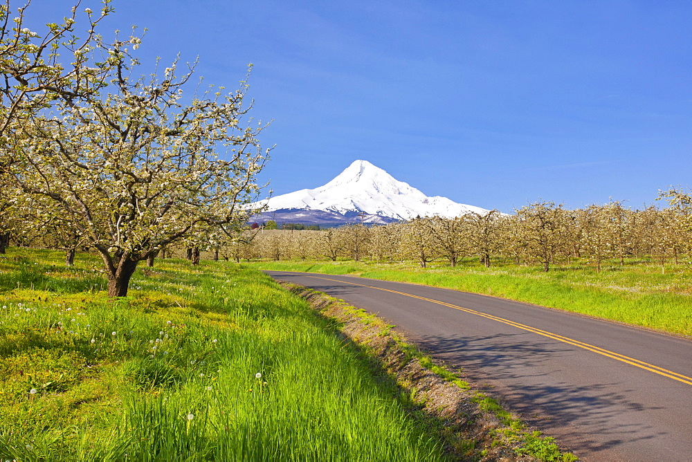 Mount Hood And Spring Blossoms In A Fruit Orchard In Hood River Valley; Oregon United States Of America