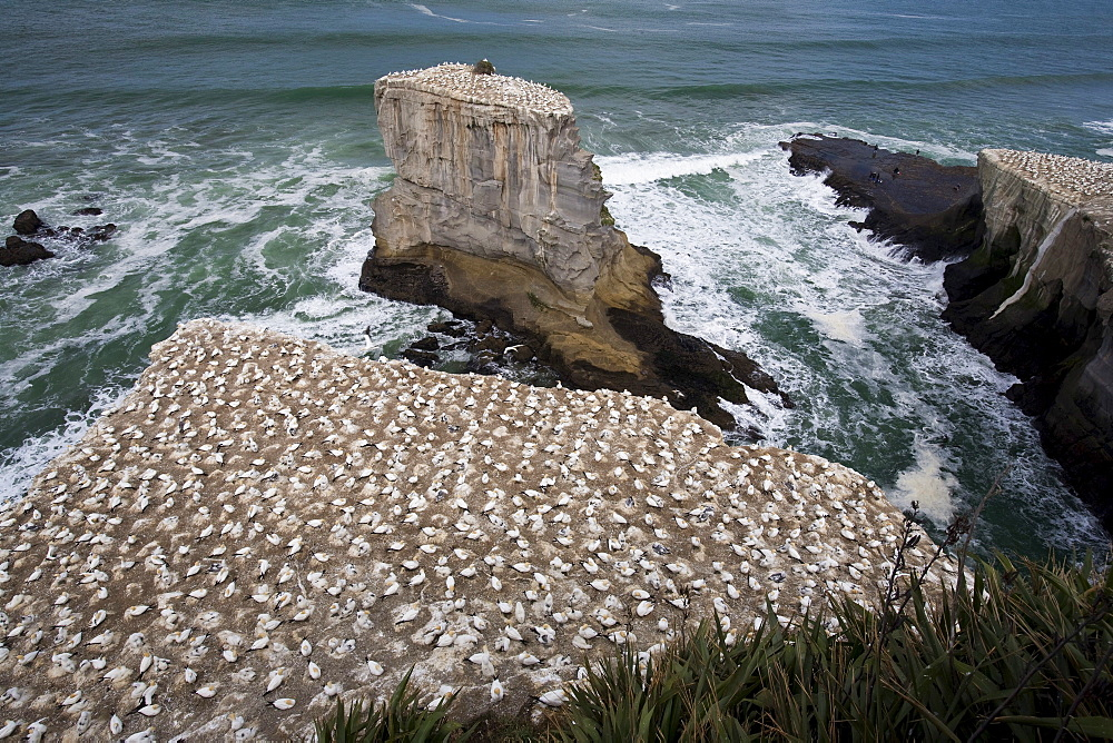 A Gannet Colony, Muriwai Beach, New Zealand