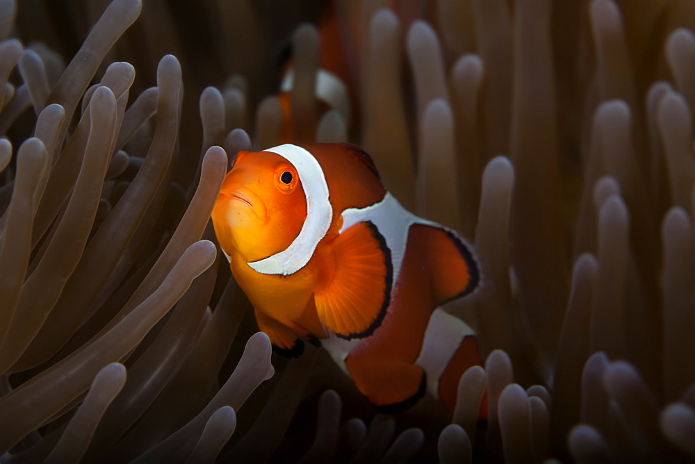 Clownfish (Amphiprioninae) In Anenome; Anda, Bohol, Central Visayas, Philippines