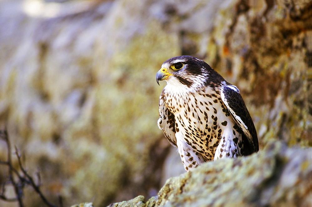Prairie Falcon On Rock Ledge - 1116-39604