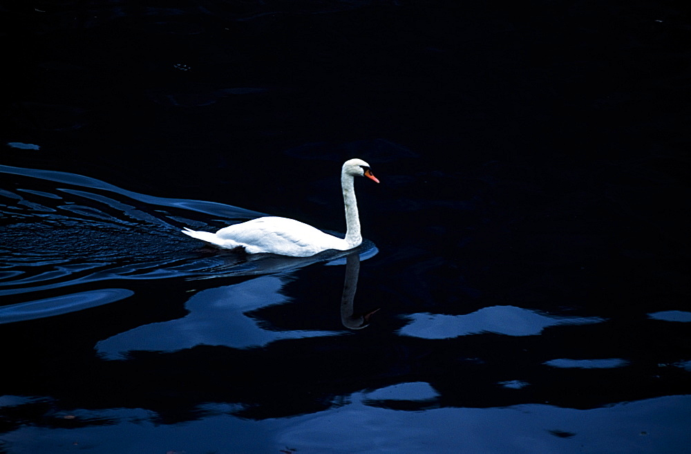 Swan In Dark Water