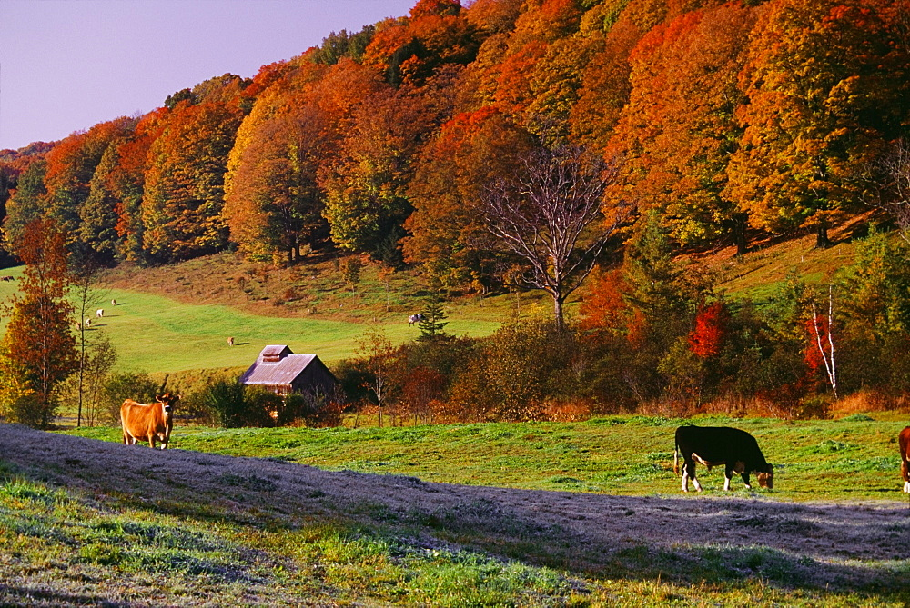 Cows In Pasture, Vermont, Usa